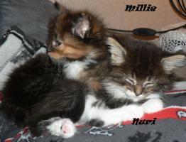 Foto 7 Maine Coon Babies-Katzenbabies-Kitten-Sechs Wochen alt