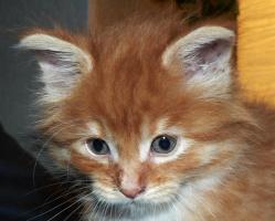 Foto 8 Maine Coon Babies-Katzenbabies-Kitten-Sechs Wochen alt