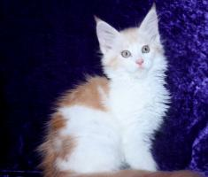 Foto 2 Maine Coon Baby M�dchen in  red  silber white!!!