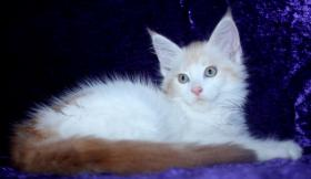 Foto 4 Maine Coon Baby M�dchen in  red  silber white!!!
