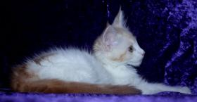 Foto 5 Maine Coon Baby M�dchen in  red  silber white!!!