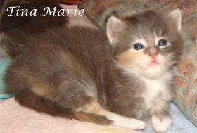 Maine Coon Babys