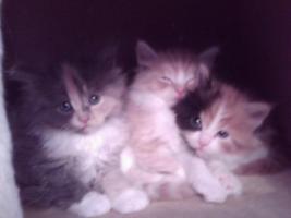 Foto 5 Maine-Coon-Babys