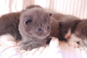 Foto 8 Maine Coon Babys Blue silver tabby & black tabby