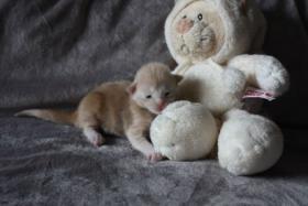 Foto 3 Maine Coon Babys mit Stammbaum