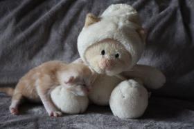 Foto 4 Maine Coon Babys mit Stammbaum