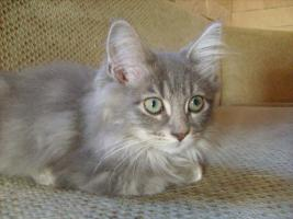Maine-Coon-Birma-Mix