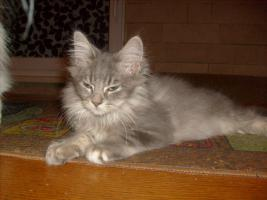 Foto 2 Maine-Coon-Birma-Mix
