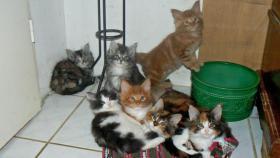 Maine Coon Cattery MOONSHINEVALLEY- hat traumhaft schöne Kitten !