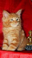 Foto 2 Maine Coon Cattery MOONSHINEVALLEY- hat traumhaft schöne Kitten !