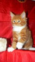 Foto 3 Maine Coon Cattery MOONSHINEVALLEY- hat traumhaft schöne Kitten !
