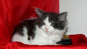 Foto 4 Maine Coon Cattery MOONSHINEVALLEY- hat traumhaft schöne Kitten !