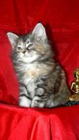 Foto 5 Maine Coon Cattery MOONSHINEVALLEY- hat traumhaft schöne Kitten !