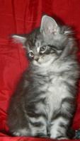 Foto 7 Maine Coon Cattery MOONSHINEVALLEY- hat traumhaft schöne Kitten !