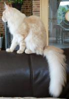 Foto 3 Maine Coon DECKkater, cream silv. cl. tb., Pedigree, trägt non-agouti, große Ohren, Tips, langer Schwanz,
