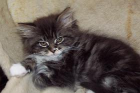Maine Coon-Edelmix Kätzchen