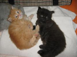 Maine Coon Edelmix Katzenbabys