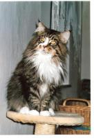 Maine Coon Internationaler Champion
