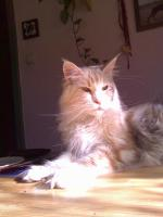 Foto 2 Maine Coon Internationaler Champion