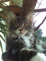 Foto 3 Maine Coon Internationaler Champion