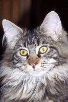 Maine Coon Joungster