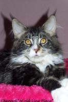 Maine Coon Joungster`s
