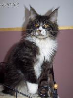 Foto 3 Maine Coon Joungster`s
