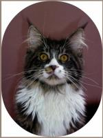 Foto 4 Maine Coon Joungster`s