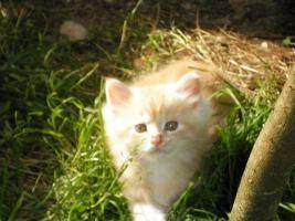 Foto 2 Maine Coon Kätzchen