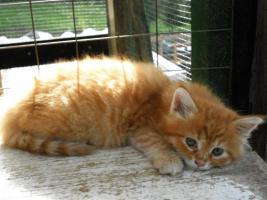 Foto 6 Maine Coon Kätzchen