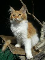 Foto 3 Maine Coon Kätzchen