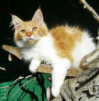 Foto 4 Maine Coon Kätzchen