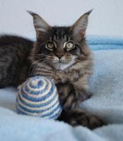 Maine Coon Kätzchen mit Schmuseabitur dürfen sofort  ausziehen !