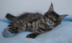 Foto 2 Maine Coon Kätzchen mit Schmuseabitur dürfen sofort  ausziehen !
