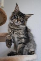 Foto 3 Maine Coon Kätzchen mit Schmuseabitur dürfen sofort  ausziehen !