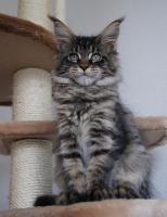 Foto 4 Maine Coon Kätzchen mit Schmuseabitur dürfen sofort  ausziehen !