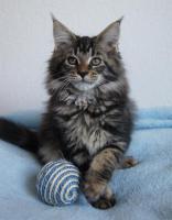 Foto 5 Maine Coon Kätzchen mit Schmuseabitur dürfen sofort  ausziehen !