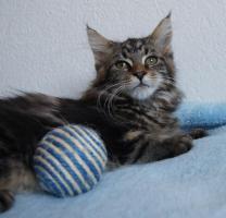 Foto 7 Maine Coon Kätzchen mit Schmuseabitur dürfen sofort  ausziehen !