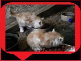 Maine Coon Kätzchen zu verkaufen