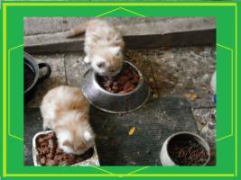Foto 2 Maine Coon Kätzchen zu verkaufen