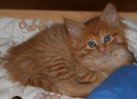 Foto 2 Maine Coon Kätzchen (weiblich)