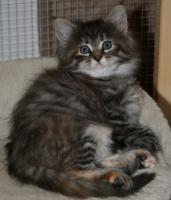Foto 3 Maine Coon Kätzchen (weiblich)