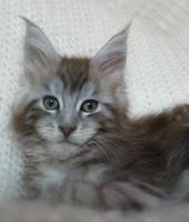 Foto 3 Maine Coon Kampfschmuser Kitten