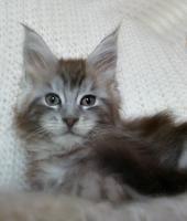 Foto 4 Maine Coon Kampfschmuser Kitten