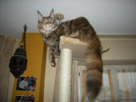 Foto 5 Maine Coon Kastratin