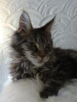 Foto 4 Maine Coon Kater