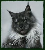 Foto 2 Maine Coon Kater
