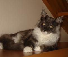 Foto 4 Maine Coon Kater 5 Monate