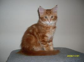 Maine Coon Kater sucht..
