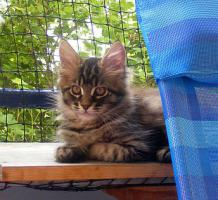 *** Maine Coon Katerchen im Wildlook ***